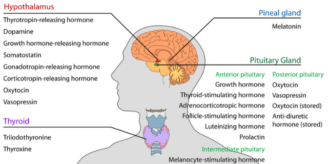 pineal_pituitary_hypothalmus